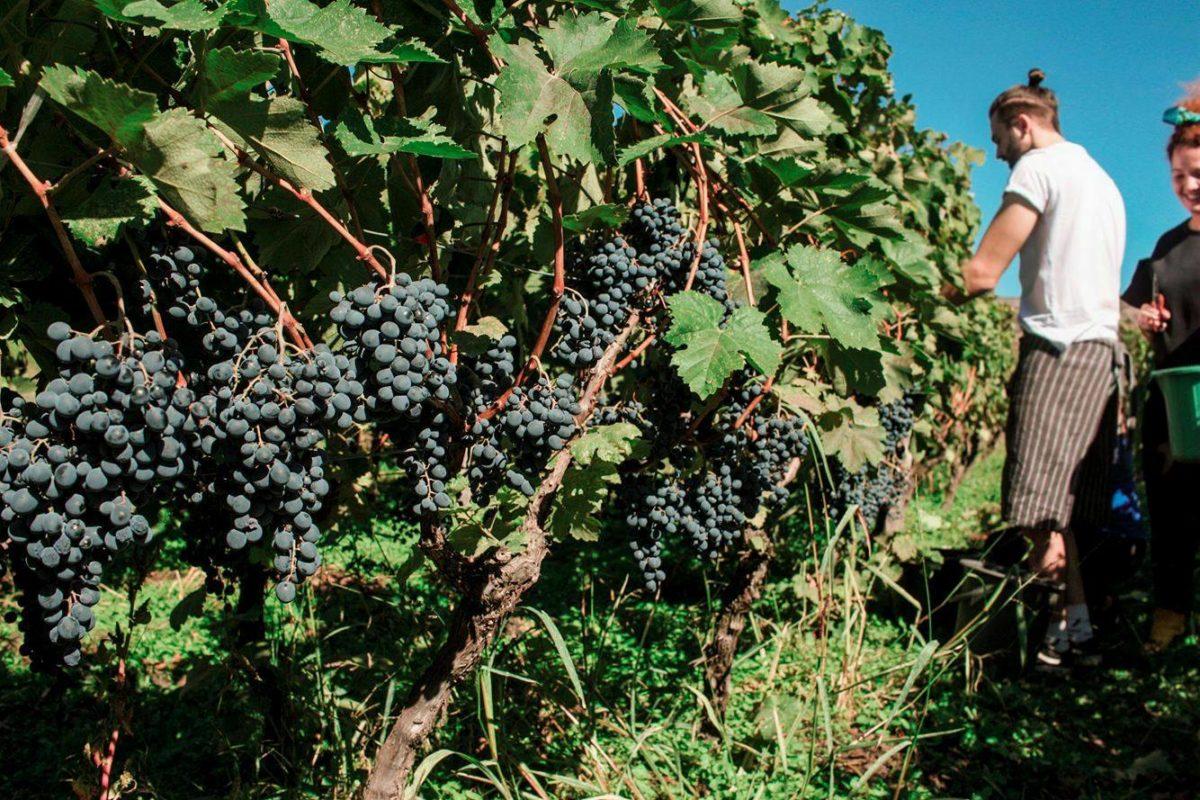 Artizani harvest | Ghvino.shop